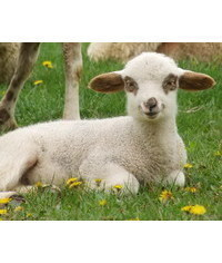 photo  Sheep, Sheep, Sheep, Sheep, Lamb,Goat, Goat,Goat, sheep, lamb, Lamm, jehn???, agneau, agnello