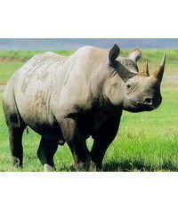 photo Rhino,Rhino,Nashorn,rinoceronte