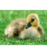 photo  duckling
