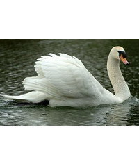 photo Swan,swan,Labut?,cigno,?ab?d?,