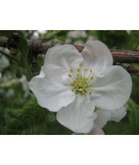photo Apple blossoms,apple blossom,Apfelbl?te,fiori di melo,flor de manzana