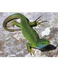 photo lizards,lizards,je?t?rky,l?zards,lucerto le