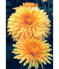 photo  chrysanthemum,chrysanthemum, Chryzant?ma, chrysanth?me, chrysanthemum, crisantemo,