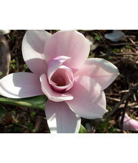 photo  Magnolia, Magnolia, magn?lie, Magnolie