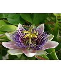 photo  Passionflower, Passiflora incarnata, passionflower, mu?enka