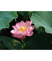 photo Lotus, lotus, Nelumbo nucifera