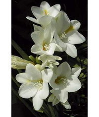photo Freesia,freesia