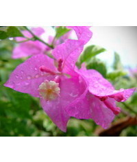 photo  Bougainvillaea,bougainvillaea