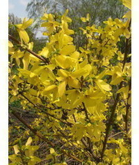 photo  The intermediate Spectabilis forsythia, Forsythia,Forsythia x intermedia Spectabilis,Zlat? d???