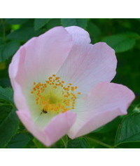 photo  rose,rosa silvestre,wild rose