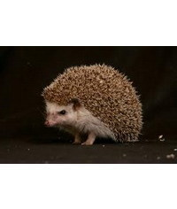 photo Hedgehog,hedgehog,je?ek,Igel,riccio