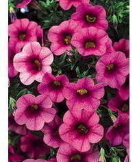 photo  MK Petunia, Petunia flower Gum Paste tutorial, Petunie, Petunia, p?tunia, ???? ???? ???, ?????, pet?nia, Petunia, petunya,