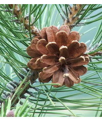 photo  Pine cone with branch