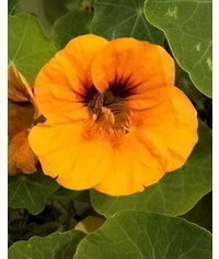 photo MK flower Nasturtium Nasturtium flower tutorial