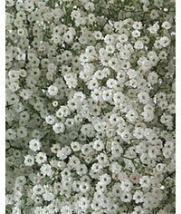 photo gypsophila,gypsophila,Schleierkraut,Gypsop hila,baby's brief flower