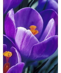 photo how to make gumpaste Crocuses
