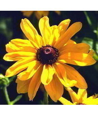 photo  Rudbeckia flower tutorial