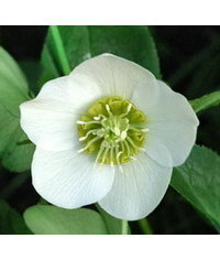 photo  Christmas rose (Hellebore) Flower tutorial