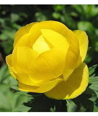 photo Globeflower (Trollius)flower tutorial