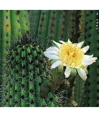 photo  Cactus