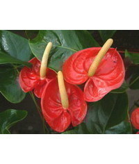 photo Anthurium,Anthurium,Flamingo flower