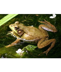 photo  Frog, frog,Frosch,??ba,rana