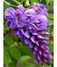 photo  Gumpaste (fondant, polymer clay) Wisteria (Wistaria) flower making tutorials