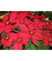 photo Poinsettia,poinsettias,Weihnachtsstern, v?no?n? hv?zda, Flor de Pascua