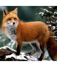 photo Fox,raposa,fox, li?ka, Fuchs, volpe