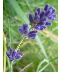 photo  Lavandula angustifolia (lavender) tutorial
