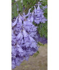 photo Jacaranda flowering plant tutorial