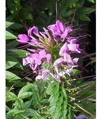 photo  Cleome (spider flower) flowering plant tutorial