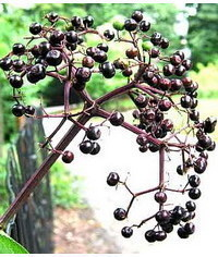 photo Sambucus berries (Elderberries) step by step