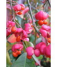 photo Gumpaste (fondant, polymer clay) Euonymus (Spindle berry) making tutorial