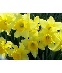 photo  Narcissus,Daffodil, Narcissus,jonquille, narcis, Narzisse, narciso
