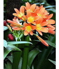 photo  Clivia flower template