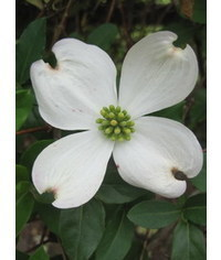 photo Cornus (dogwood) flower template
