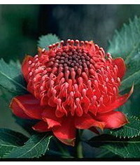 photo  Waratah (Telopea) flower tutorial