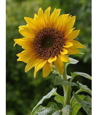photo sunflowers,sunflowers, slune?nice, tournesols, Sonnenblumen, girasoli, girass?is, gir
