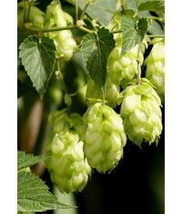 photo Humulus, hop tutorial