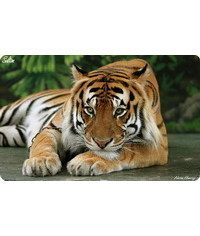 photo  tiger,tiger, tygr, tigre,