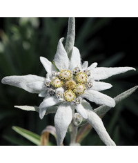 photo  Leontopodium alpinum (Edelweiss) flower tutorial