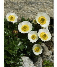 photo   Ranunculus glacialis (glacier crowfoot or glacier buttercup) flower Tutorial