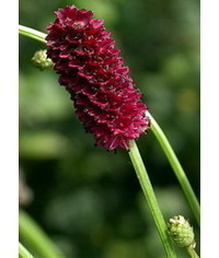 photo  Sanguisorba officinalis (great burnet)