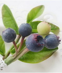 photo Gumpaste (fondant, polymer clay) Common Bilberry (Blue Whortleberry) making tutorial