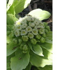 photo  Japanese Butterbur tutorial