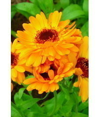 photo Gumpaste (fondant, sugar, polymer clay) Calendula (marigold) flower tutorial